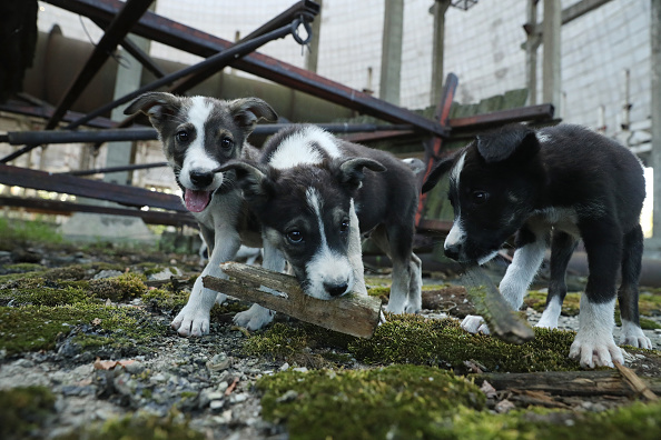 Animal Themes「The Stray Dogs Of Chernobyl」:写真・画像(19)[壁紙.com]