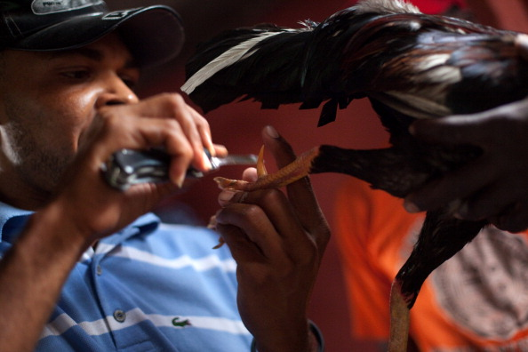 Sharpening「Haitians Bet On Cock Fights」:写真・画像(12)[壁紙.com]