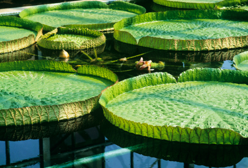 Water Lily「Victoria water lily leaves on water surface, close-up」:スマホ壁紙(19)