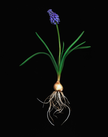 Plant Bulb「Grape Hyancinth flower and bulb against black background」:スマホ壁紙(10)