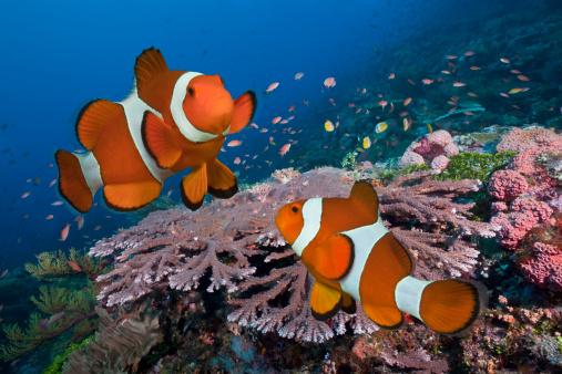 Clownfish「Pair of Clownfish on tropical coral reef」:スマホ壁紙(12)
