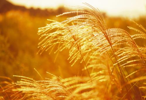 すすき「Field of Japanese silver grass, close up, sepia toned」:スマホ壁紙(14)