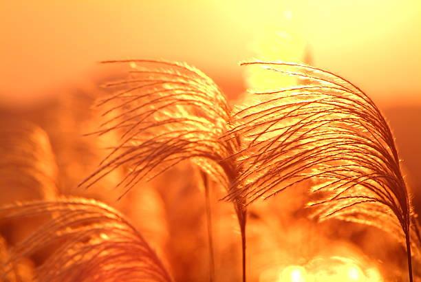 Field of Japanese pampas grass at sunset:スマホ壁紙(壁紙.com)