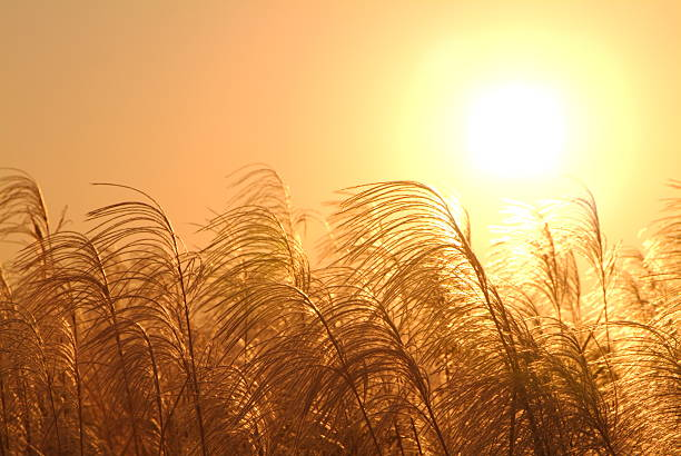 Field of Japanese pampas grass at sunset:スマホ壁紙(壁紙.com)