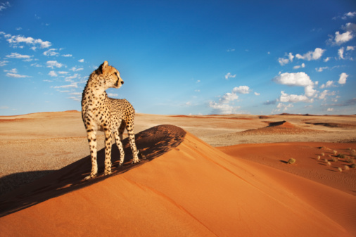 Namibia「Cheetah in desert environment.」:スマホ壁紙(17)