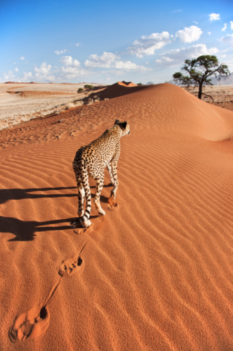 Namibia「Cheetah in desert environment.」:スマホ壁紙(2)