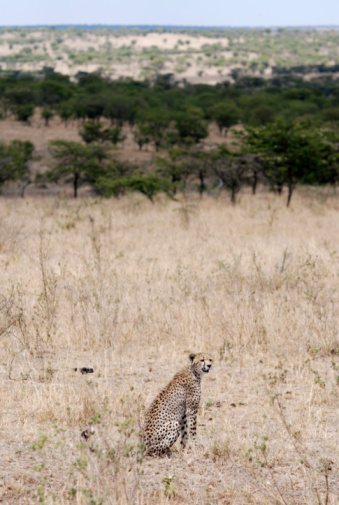 African Cheetah「cheetah in Serengeti National Park」:スマホ壁紙(8)