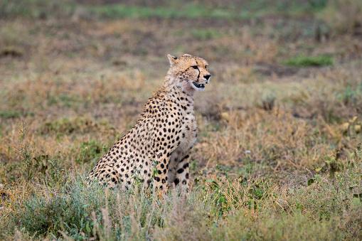 African Cheetah「Cheetah in Africa」:スマホ壁紙(5)