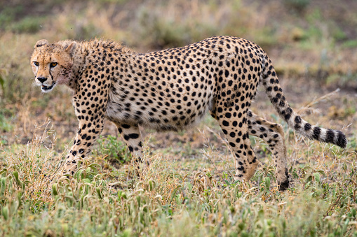 African Cheetah「Cheetah in Africa」:スマホ壁紙(9)