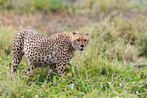 African Cheetah「Cheetah in Africa」:スマホ壁紙(7)