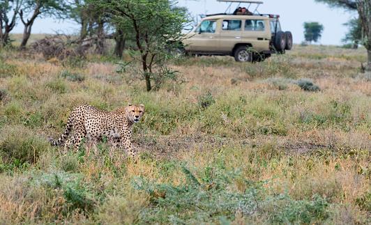 African Cheetah「Cheetah in Africa」:スマホ壁紙(19)
