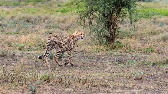 African Cheetah「Cheetah in Africa」:スマホ壁紙(11)