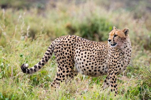 African Cheetah「Cheetah in Africa」:スマホ壁紙(6)