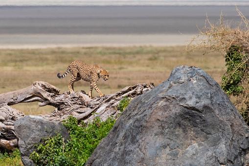 African Cheetah「Cheetah in Africa」:スマホ壁紙(3)
