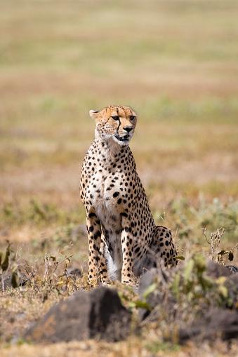African Cheetah「Cheetah in Africa」:スマホ壁紙(2)