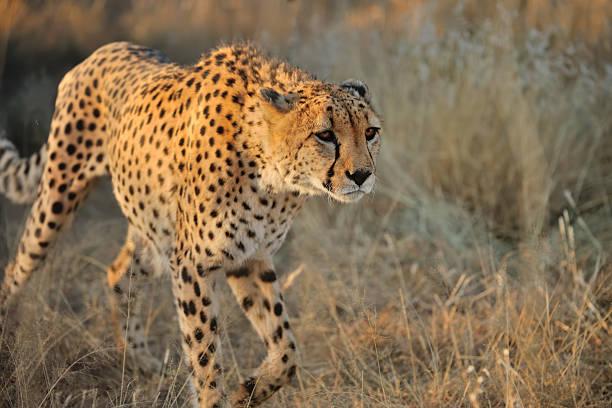 cheetah in namibia:スマホ壁紙(壁紙.com)