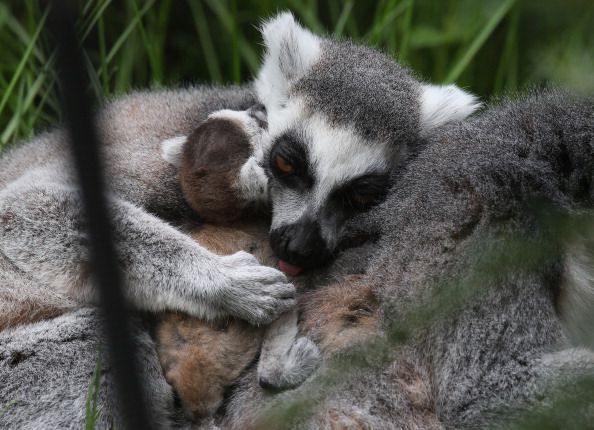 animal「Bristol Zoo Welcomes Their New Baby Ring-Tailed Lemur」:写真・画像(3)[壁紙.com]
