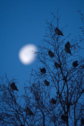 Bohemian Waxwing「Sweden, flock of waxwings (Bombycilla garrulus) in tree, dusk」:スマホ壁紙(6)