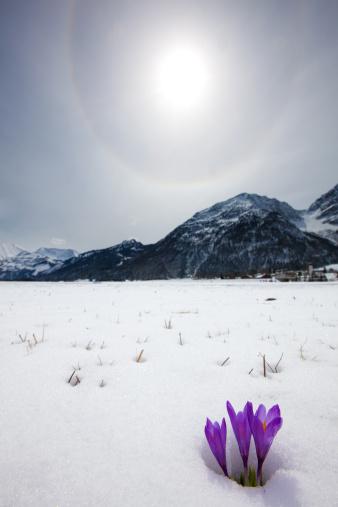 Crocus「thawing snow and upcoming crocus in spring, tirol, austria」:スマホ壁紙(18)