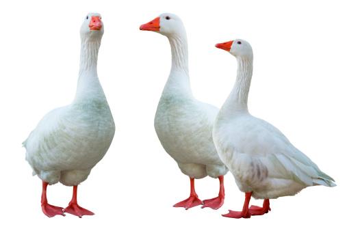 Water Bird「white geese」:スマホ壁紙(14)