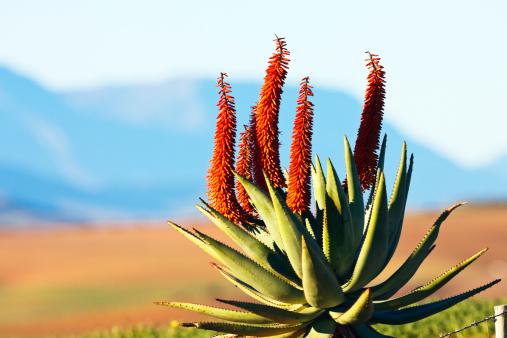 African Aloe「African aloe」:スマホ壁紙(3)