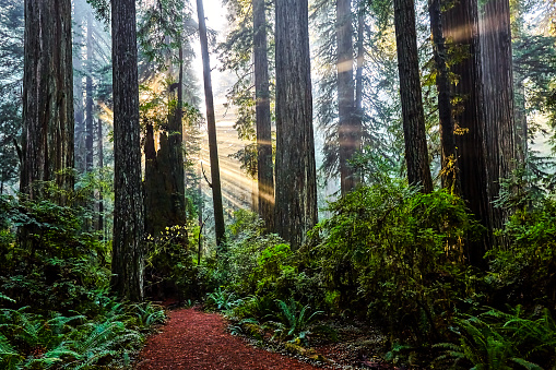 Old Growth Forest「Redwood National Park,California,USA」:スマホ壁紙(11)