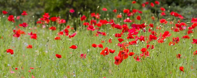 花畑「レッドのポピー花」:スマホ壁紙(14)