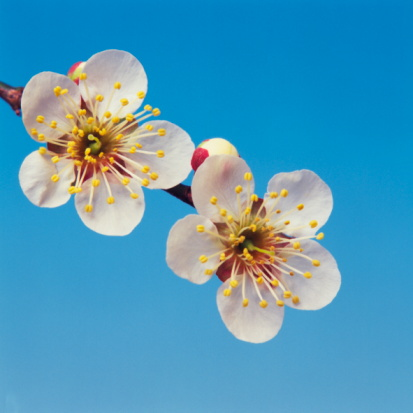 梅「Close Up Image of Japanese Apricot Flower」:スマホ壁紙(4)