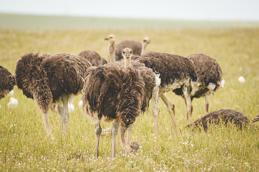 Animal Wing「Close up image of female Ostriches feeding in a green meadow.」:スマホ壁紙(13)