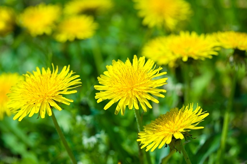 たんぽぽ「Close Up Image of Dandelions」:スマホ壁紙(9)