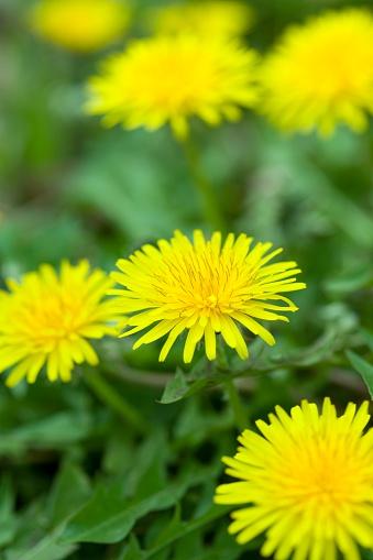 たんぽぽ「Close Up Image of Dandelions」:スマホ壁紙(9)