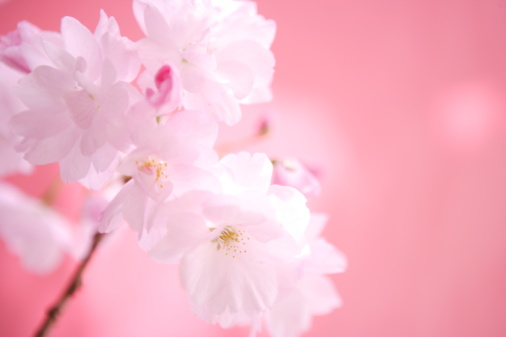 桜「Close Up Image of Cherry Blossom」:スマホ壁紙(3)