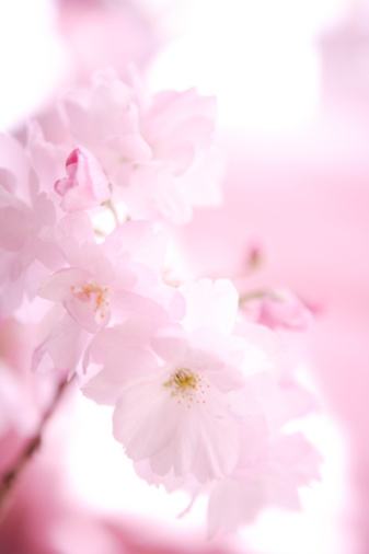 Cherry Blossom「Close Up Image of Cherry Blossom」:スマホ壁紙(7)