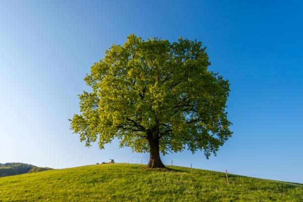 Oak tree in spring, Odenwald, Hesse, Germany:スマホ壁紙(壁紙.com)