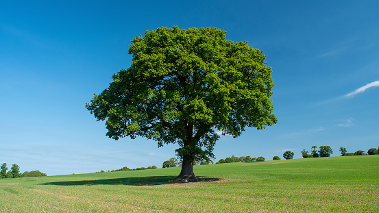 Family Tree「Oak tree in a field in early summer. (Quercus)」:スマホ壁紙(4)
