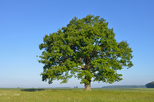 Single Tree「Oak tree in meadow .」:スマホ壁紙(13)
