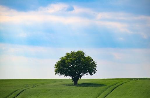 Single Tree「Oak tree in a field, Cherveux, France」:スマホ壁紙(16)