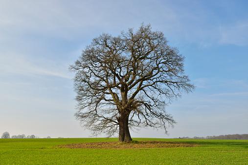 Single Tree「Oak Tree in early Spring」:スマホ壁紙(5)