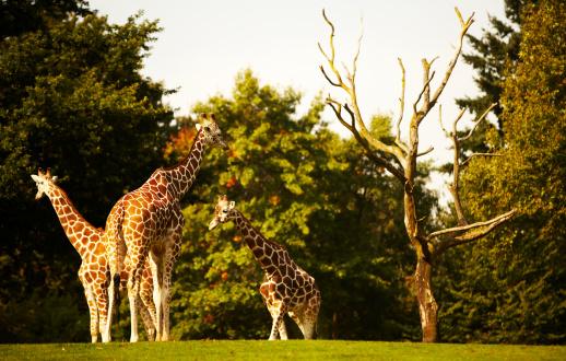 Giraffe「zoo animals」:スマホ壁紙(1)