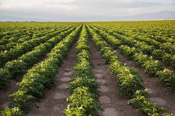 Rows of potato plants, Colorado, USA:スマホ壁紙(壁紙.com)