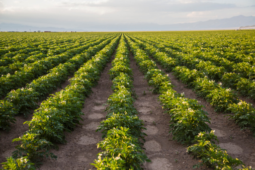 Crop - Plant「Rows of potato plants, Colorado, USA」:スマホ壁紙(2)
