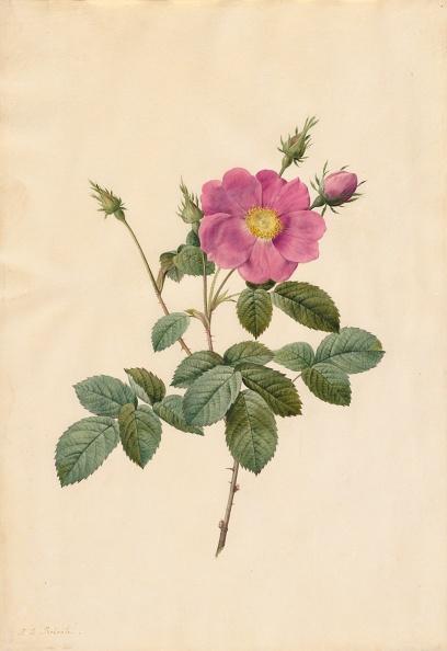 Cabbage「Cabbage Rose (Rosa Centifolia Simplex)」:写真・画像(11)[壁紙.com]
