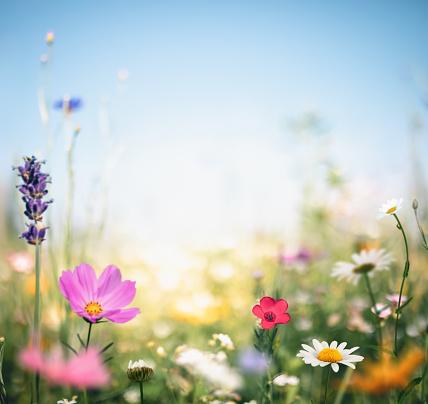 Cosmos Flower「Colorful Meadow」:スマホ壁紙(5)