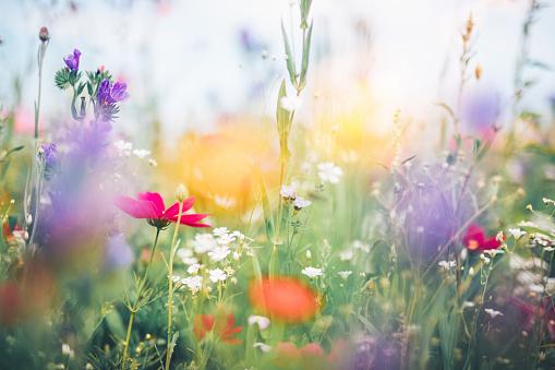 Cosmos Flower「Colorful Meadow」:スマホ壁紙(6)