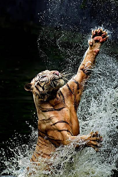 Tiger jumping in river, Ragunan, Jakarta, Indonesia:スマホ壁紙(壁紙.com)