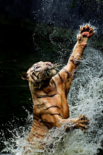 Animals Hunting「Tiger jumping in river, Ragunan, Jakarta, Indonesia」:スマホ壁紙(3)
