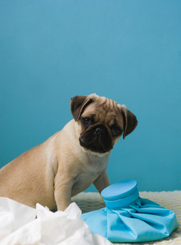 Nausea「Pug dog sitting on bed by hot water bottle and tissues」:スマホ壁紙(14)