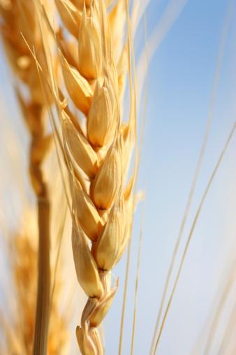 Crop - Plant「Wheat」:スマホ壁紙(17)