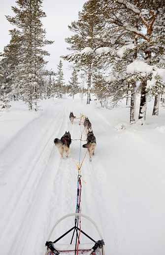 Dogsledding「Sweden, near Village Idre, husky sledge and dogs in winter」:スマホ壁紙(12)