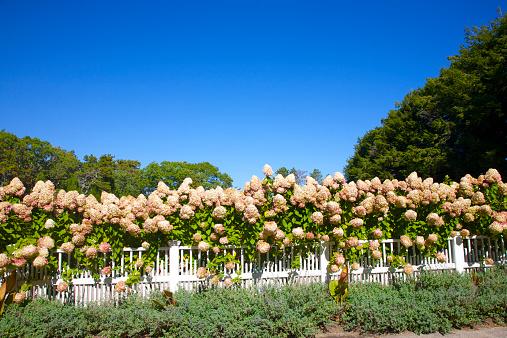 あじさい「Lots of hydrangea growing over fence, Cape Cod」:スマホ壁紙(11)